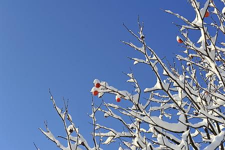 téli, téli fa, hó, ribizli, datolyaszilva, fa, természet