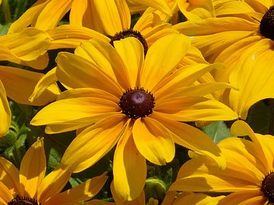 flor groga, kúpvirág, Echinacea, plantes ornamentals, jardí de flors, l'estiu, juliol