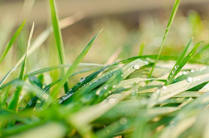 makro, příroda, rožains, zelené, déšť, Voda, tráva