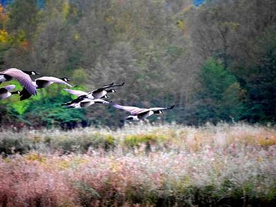 oques, aus migratòries, natura