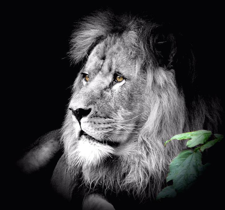 животни, Лъв, котка, Зоологическа градина, диви животни, дива природа фотография, дива котка