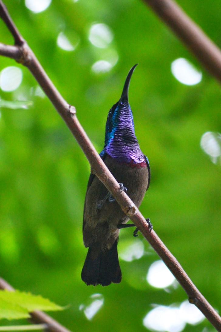птицата колибри, мъжки птица, пъстра птица, птица, дива природа, Шри Ланка, mawanella
