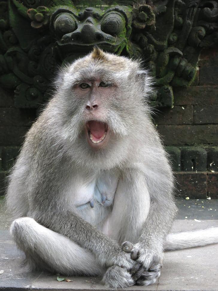 Monkey, Bali, výraz tváre