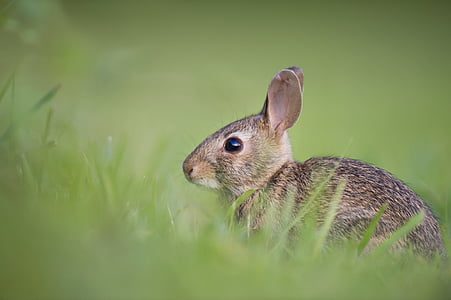 harmaa, jyrsijä, ruoho, eläimet, kanit, jänikset, fluffy