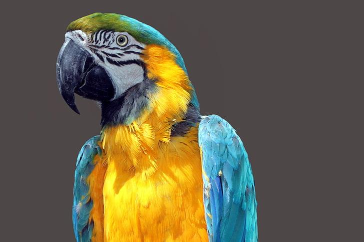 папагал, Ara, птица, цветни, перушина, цвят, ара