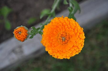 lill, saialille Aed, oranž, Makro, taim, Aed, lilled