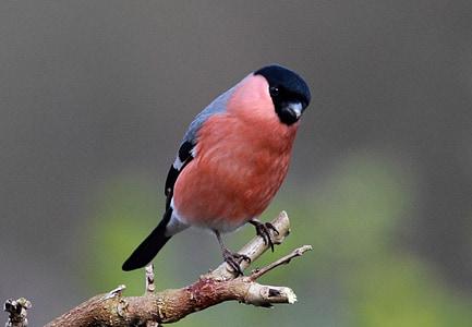 bird, feathers, beak, finch, bull, wild