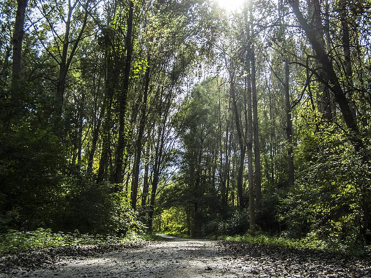 bosc, carretera, arbres, camí forestal, místic, llums i ombres, natura