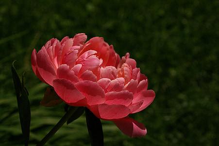 Peònia, flor, flors de primavera, flor, perenne, Rosa, Peònia Rosa