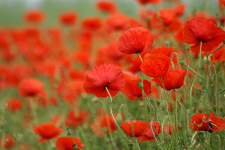 poppy, field of poppies, france, nature, flowers, field, red