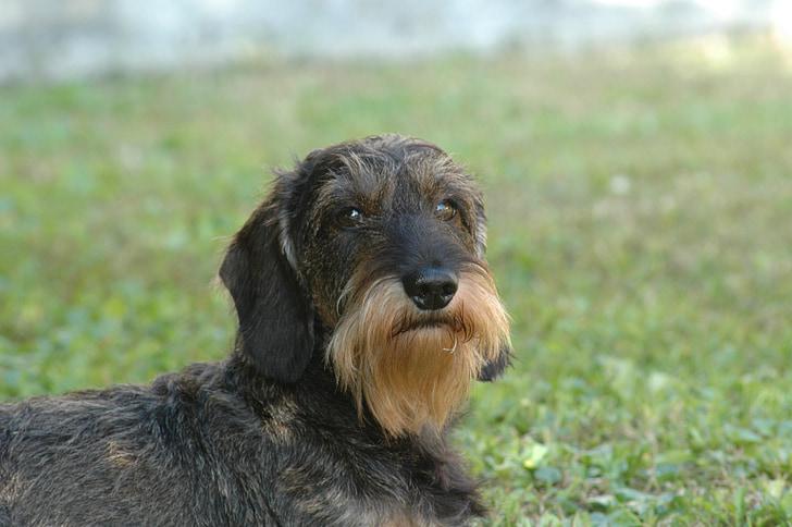 dog, dachshund, beard