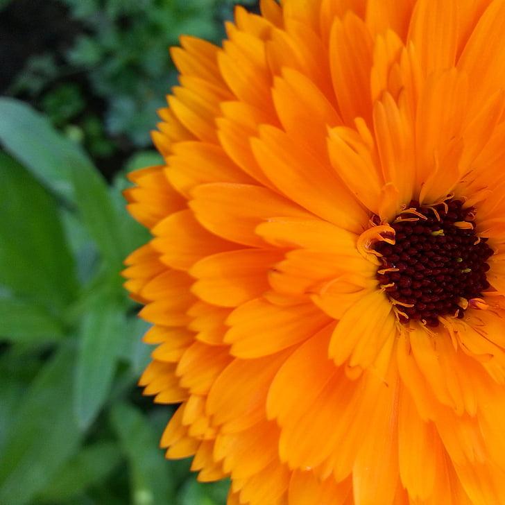 Giống kim chẩn thảo, Hoa, Hoa, dacha, hoa mùa hè, Thiên nhiên, nở hoa