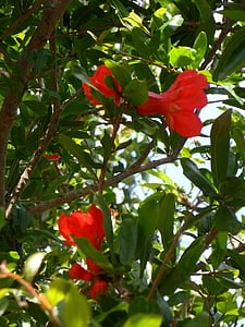 pomegranate, flowers, pomegranate flowers, young fruit, fruit tree, fruit, new fruits