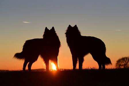 anjing, matahari terbenam, abendstimmung, kembali cahaya, berdiri anjing, anjing gembala Belgia, siluet
