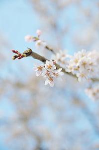 cirera, cirerer, Japó, Sakura, flors, primavera, planta