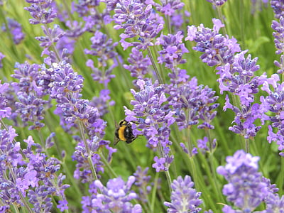 Lavanda, pokrajina, Hummel, kukac, ljubičasta, cvijet, cvatu