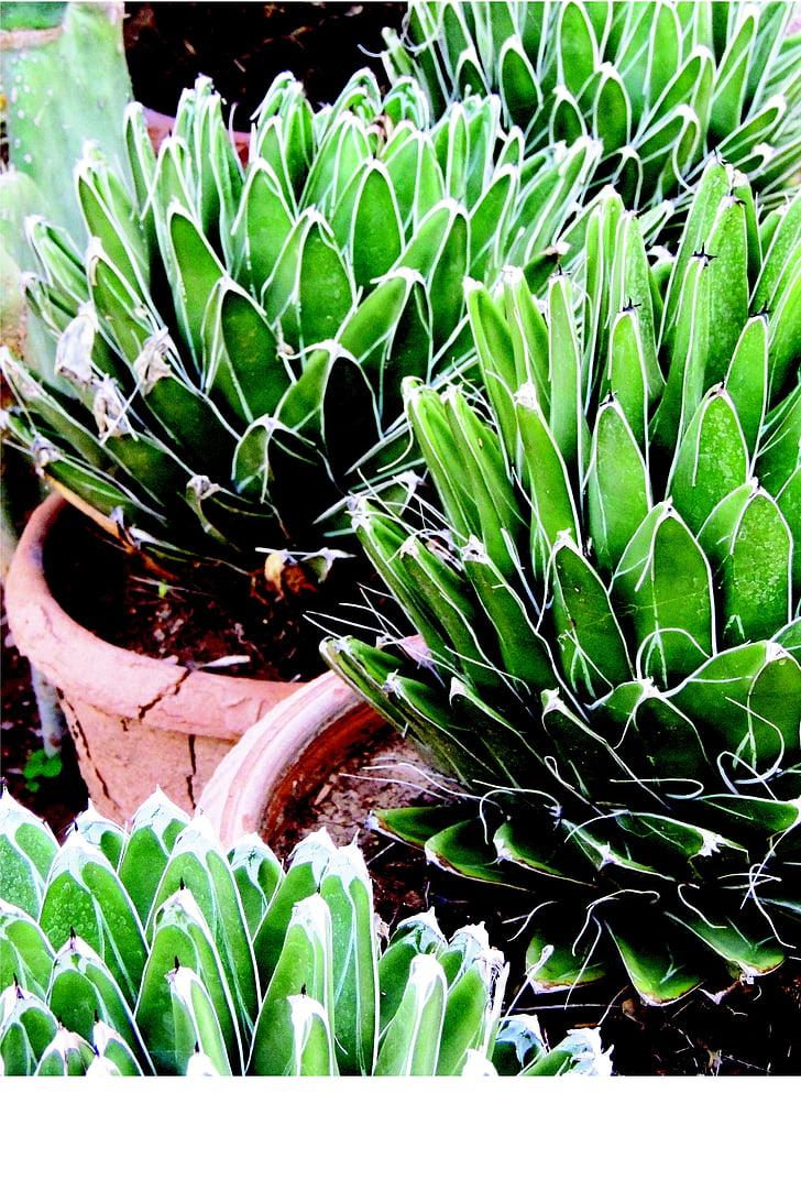 Noa, Viktória királynő, Victoria reginae, sivatagi növény, torony, Coahuila, Mexikó