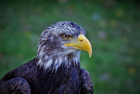 Адлер, плешив орел, птица, животните, бил, граблива птица, бяла опашка орел