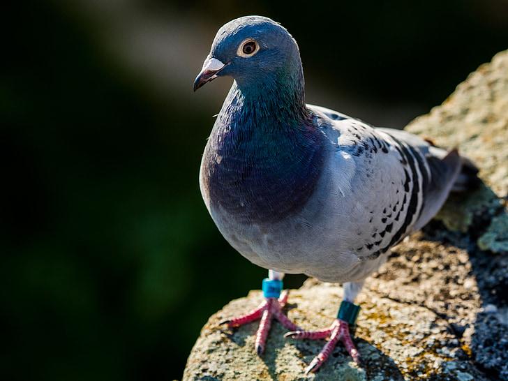 гълъб, птица, животните, градски гълъби, Грей, птици, гълъби