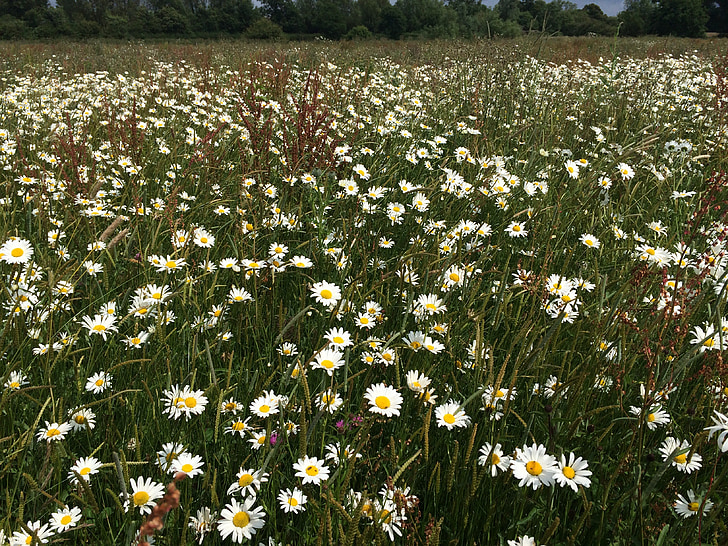 daisies, field, flowers, oxeye daisies, ox-eye daisies, common daisies, dog daisy
