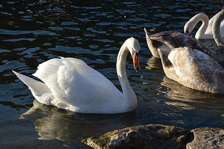labuť, Isar, labutě, Bílá labuť