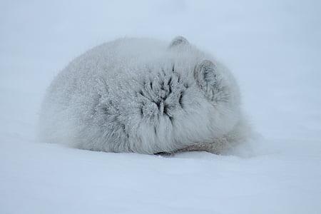 Фокс, Арктика, бозайник, дива природа, месоядни птици, арктическа лисица, гръбначни
