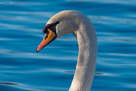 Cigne, aus de corral, vida silvestre, l'aigua, ploma, Llac, aus aquàtiques