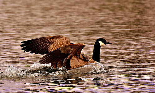 гуска, диких гусей, води, посадка, води птиці, Природа, Свійська птиця