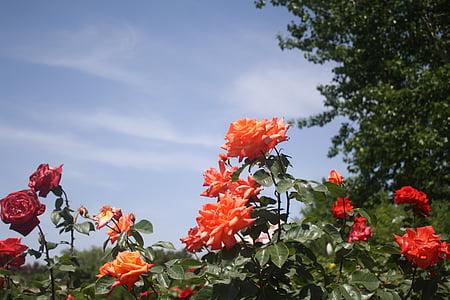 Rosa, vermell, flor, planta, cel blau, el paisatge