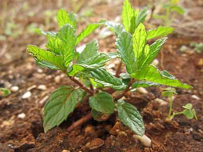 mete, poprove mete, rastlin, narave, aromo, listi, vrt