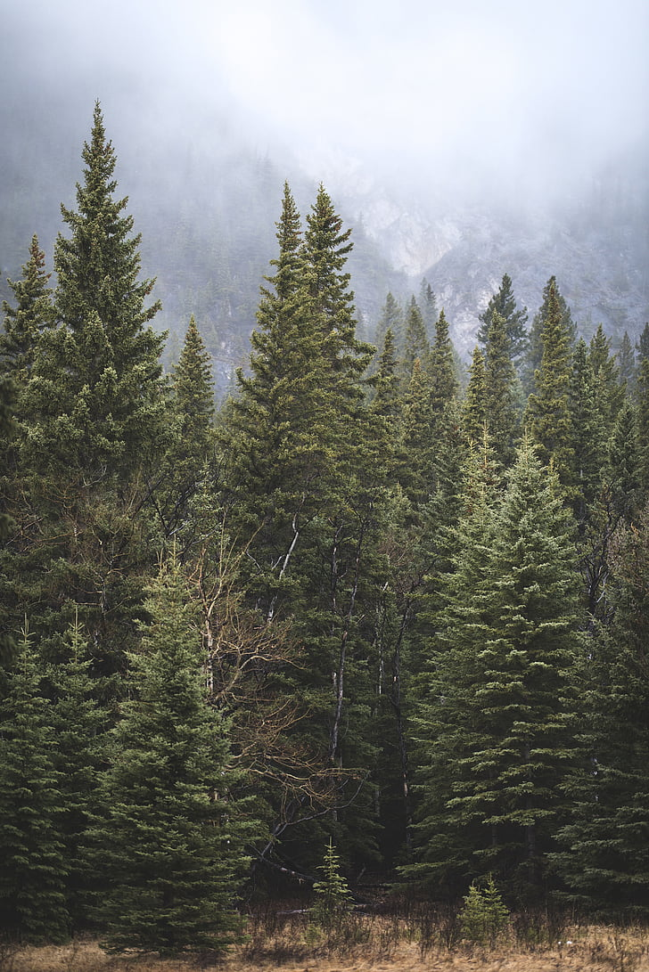 green, pine, trees, nature, forests, fog, clouds
