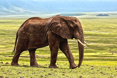 elefant, Safari, animal, defensa, color, animals, Àfrica