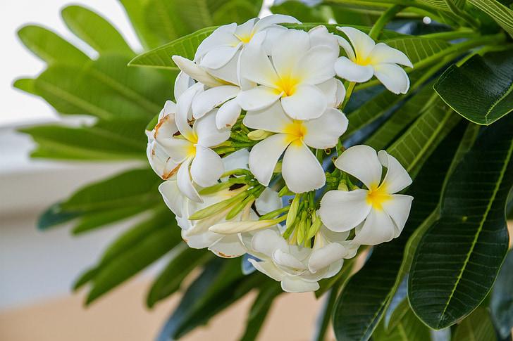 blomster, Frangipani blomster, Frangipani, hvide blomster, blomstrer, flere oplysninger