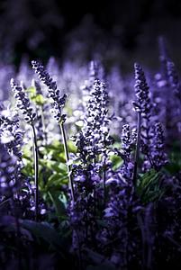 lavanda, natura, violeta, flor, flor, flors, Provença