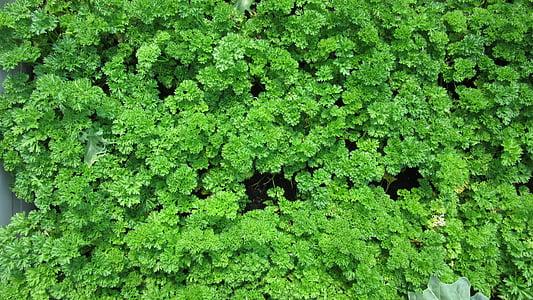 mùi tây, lá, loại thảo dược nhà bếp, nhiều, ăn, thảo mộc, màu xanh lá cây