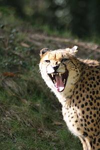 cheetah, zoo, wild animal, nature, head, wild, neck