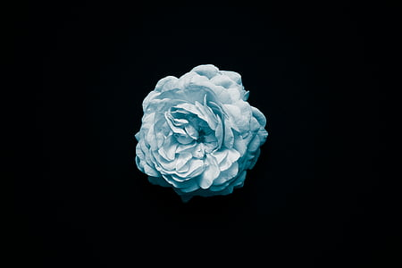 blue, flower, white, whiteness, macro, black background, studio shot