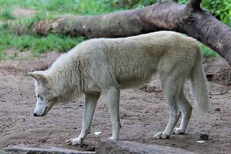 wolf, predator, animal world, zoo, berlin, animal, carnivore