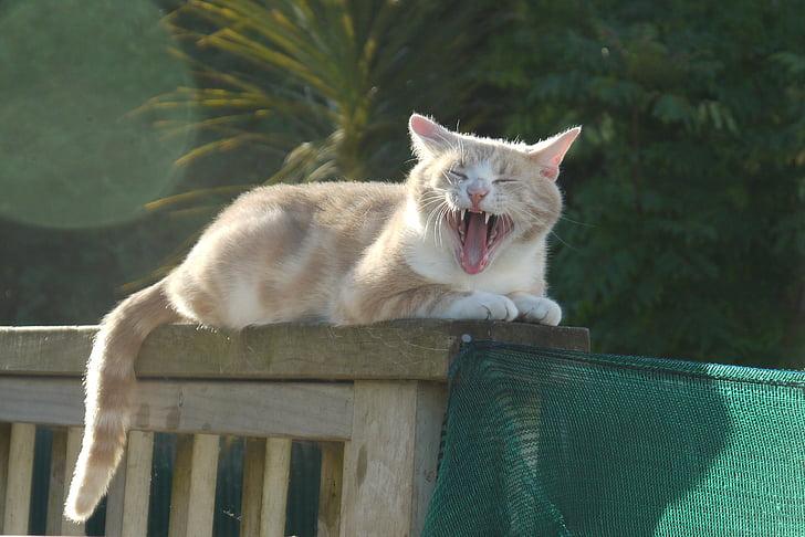 gat, badall, gat curiós, badall, valent, animal de companyia, divertit