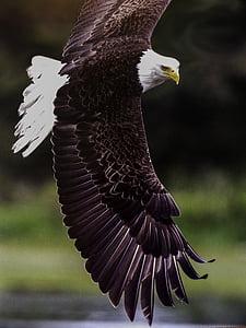 kuningas air, lintu, Predator, riistalintujen, symboli, saalis, siipi