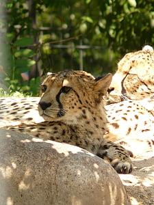 cheetah, cat, predator, fur, risk, rest, land animal