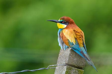 Europska pčela jede, ptica, priroda, šarene, meropidae, perje, šarene ptice