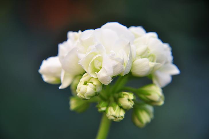 fiore, fiori, giardino