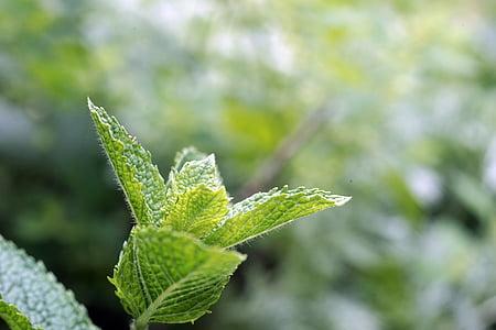 poprove mete, vrt, zelena, listi, zeliščnih rastlin, zdravilna zelišča, aromo