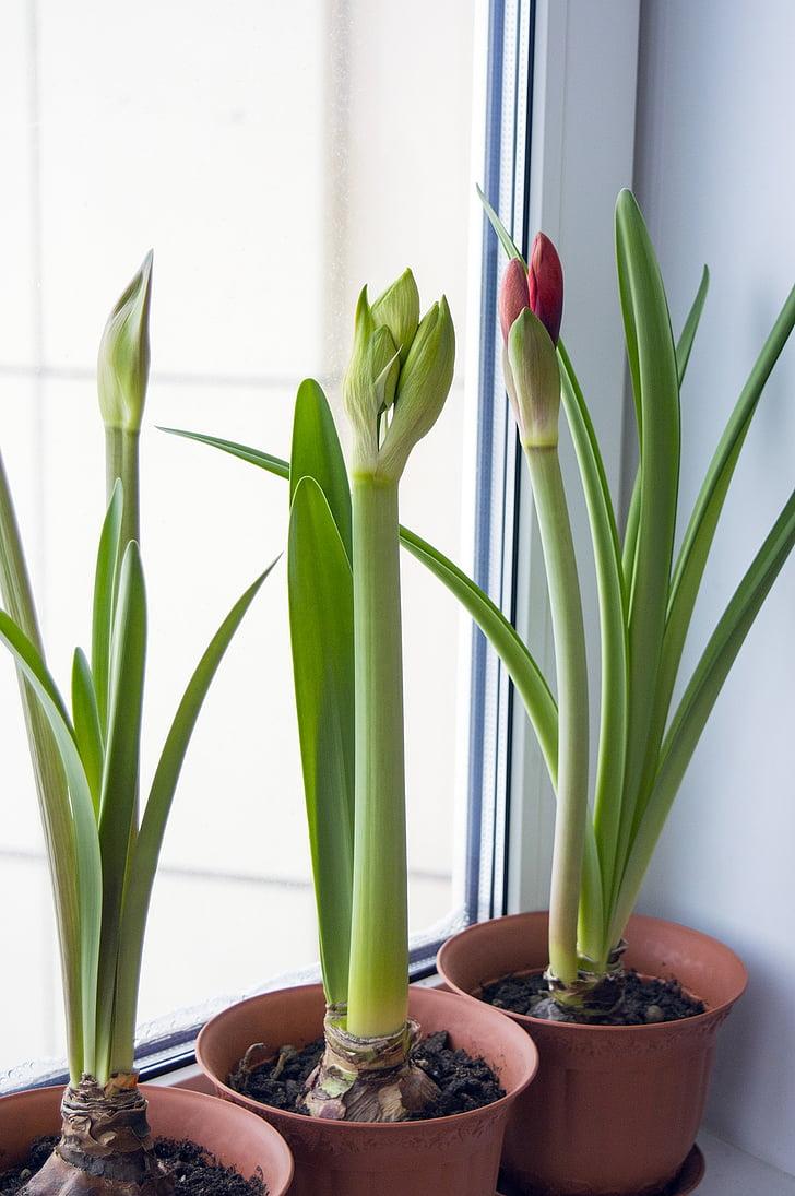 Amaryllis, Hippeastrum, bloemen op venster, bolvormige, plant, bloem kamer, binnen plant