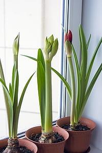 Amaryllis, hippeastrum, bunga-bunga pada jendela, bulat, tanaman, bunga kamar, Tanaman Indoor