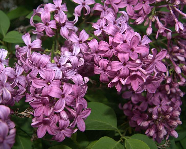 kwiaty, liliowy, Bzy, kwiaty, kwiaty, wiosna