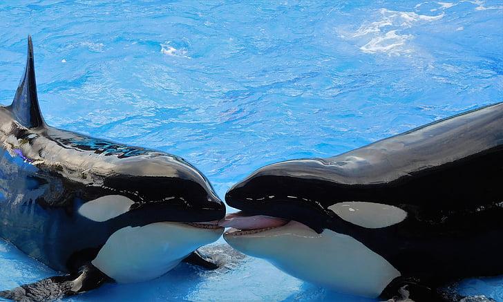 vaalad, Mõõkvaalad, Orcas, loomade, Näita, delfiin, looma