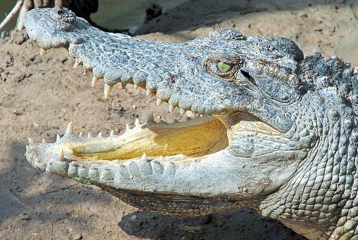 Việt Nam, cá sấu, bò sát, động vật, thế giới động vật, Thiên nhiên, động vật ăn thịt