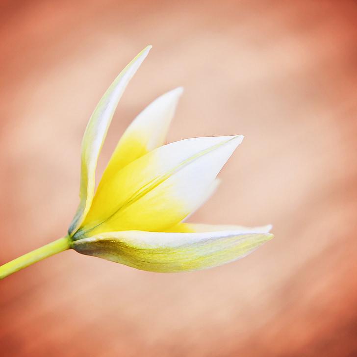 Star tulip, lille star tulip, blomst, Blossom, Bloom, gul-hvid, Luk